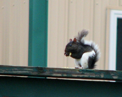 Black and white squirrel at Three Oaks Resort