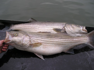 Two large fish