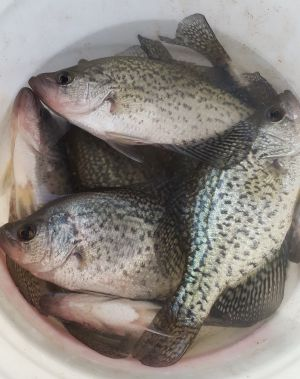 Crappie in pail Norfork Lake